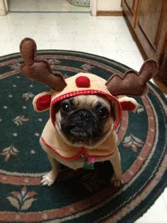 why is my pugs nose pug reindeer