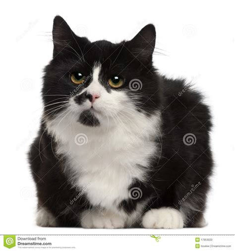 imagenes blanco y negro de gatos gato blanco y negro 5 meses foto de archivo imagen