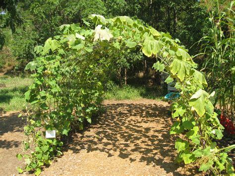 squash trellis garden grow growing vertically