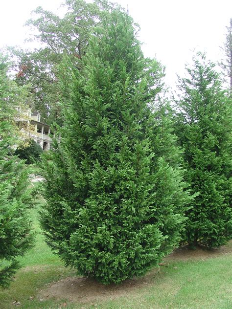 leyland cypress alternative christmas tree for the south