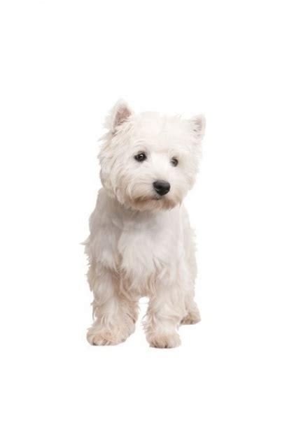 Aufkleber Hunderassen by Hunderassen Auto Aufkleber Westie West Highland Terrier