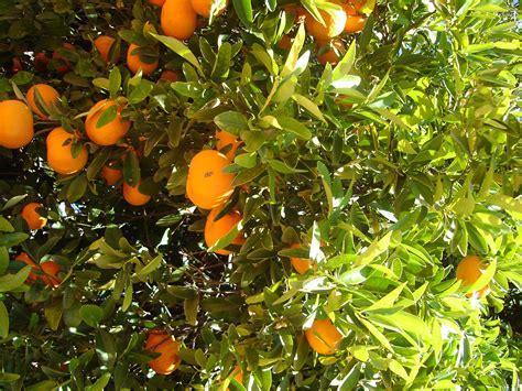 citrus fruit tree lemon tree wallpaper www imgkid the image kid has it