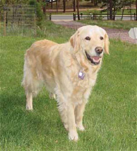 lipoma golden retriever dogaware articles lipomas in dogs