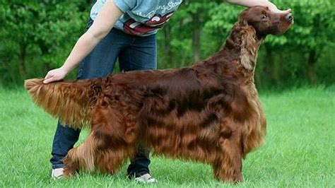 irish setter dies dog show crufts jagger death scandal poisoned by jealous rival
