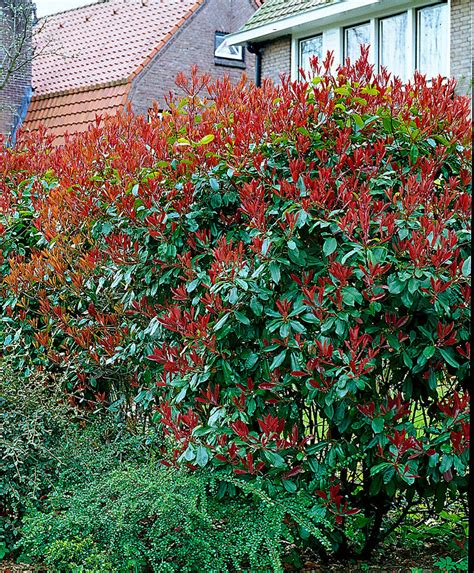 Photinia Hecke Robin by Buy Photinia Robin Bakker