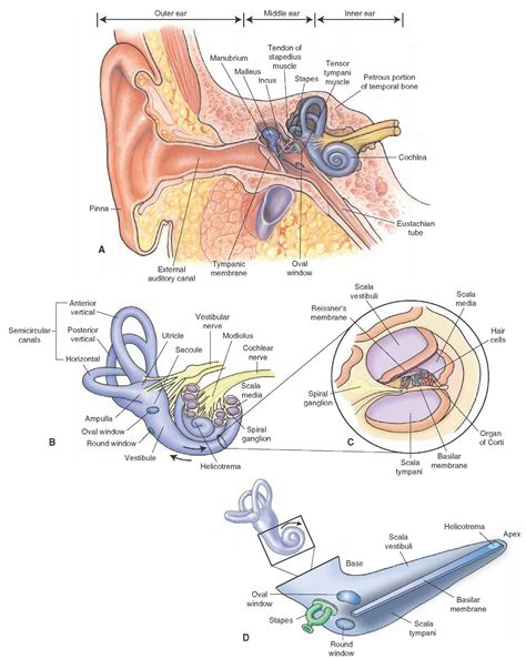 Cross Section Diagram by Cross Section Of Pinna Diagram Human Anatomy Educations