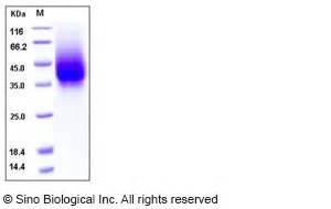 g protein rsv rsv glycoprotein g protein antibody elisa kit cdna clone