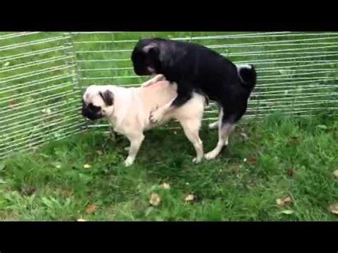 all black pug black and pug stud