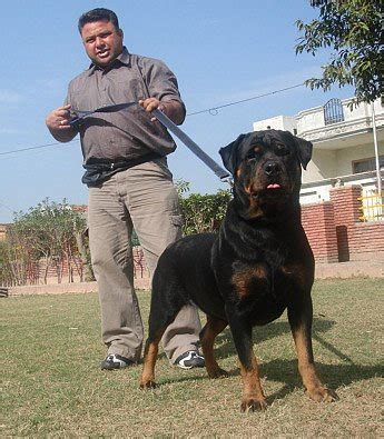 rottweiler in india rottweiler in india photo