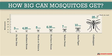Can A Big Get Some by How Big Can Mosquitoes Get
