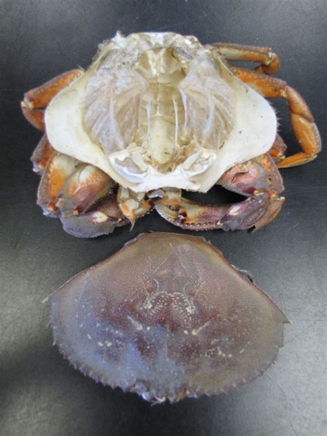 Crab Shedding Skin by Ptmsc Shedding One Skin For Another Bigger Is Better
