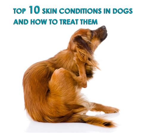 how to treat skin on dogs top 10 skin conditions in dogs and how to treat them allivet pet care