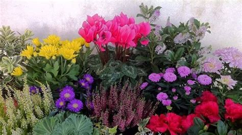 fiori invernali in vaso 10 fiori da balcone invernali