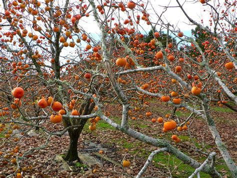 persimmon fruit tree the american persimmon mast tree network