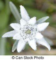 edelweiss fiore alpino immagini e archivi fotografici 52 264 immagini