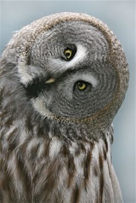 Owl Twit Daster Dewasa All Size 1000 images about animals owl tilted on owl barn owls and baby owls