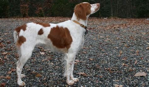 brown and white breeds brown and white breeds