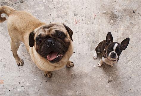 brachycephalic dogs brachycephalic breeds pet care facts