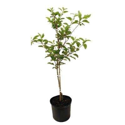 fruit trees plants edible garden the home depot