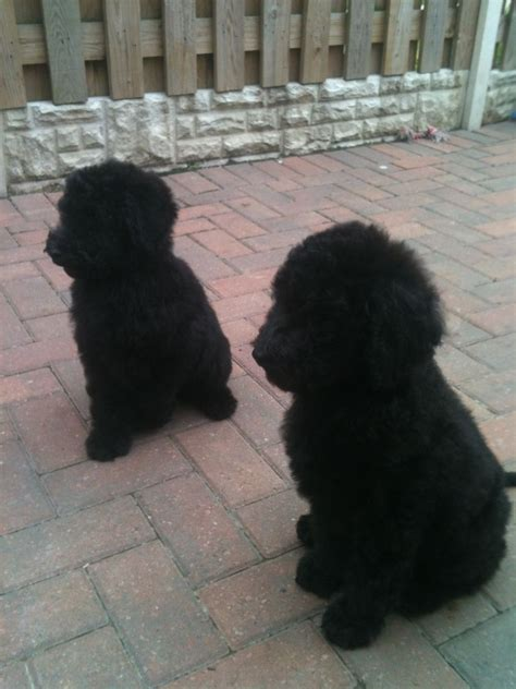standard poodle puppies standard poodle dogs for adoption breeds picture