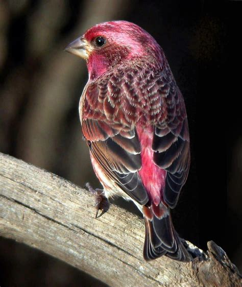 purple finch winter birds in wnc pinterest