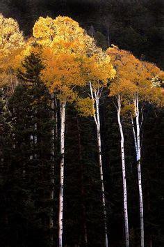 weight 65 kensington fir tree 910 best aspens images beautiful places birch forest