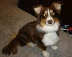 aussie corgi mix puppies for sale mini aussie corgi mix for sale breeds picture