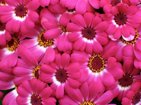 flower in pink pink flowers wallpaper wallpapersafari