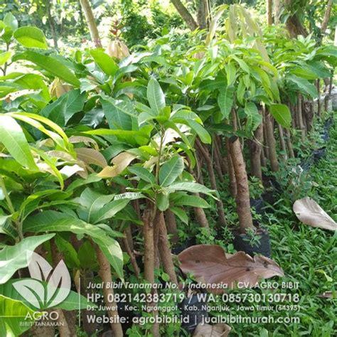 Bibit Tanaman Buah Mangga Chokanan jual bibit mangga chokanan okyong 1 pohon