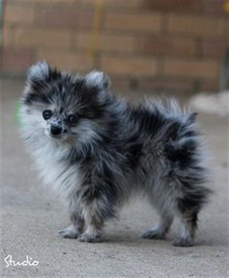 blue pomeranian pictures 1000 ideas about blue merle pomeranian on pomeranian puppy pomeranians
