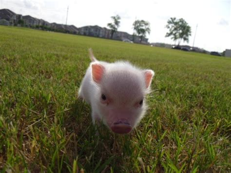 1000 images about potbelly pig love on pinterest