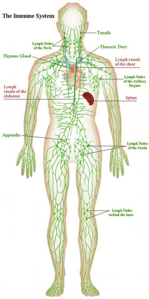 lymph node locations lymph node locations lymph gland locations elsavadorla