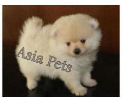 pomeranian puppy price in delhi pomeranian puppies for sale price in delhi asiapets in