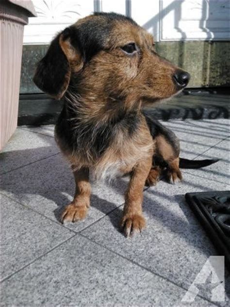 doxie yorkie mix sale dorkies dachshund terrier mix for sale in new york classified
