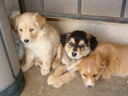 husky and lab mix puppies husky lab mix the siberian retriever