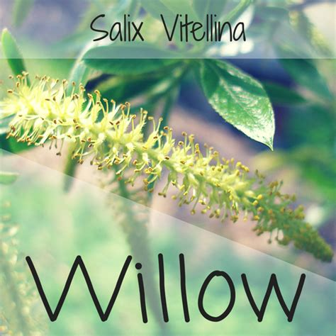 fiori di bach willow willow fiore di bach per chi soffre per le avversit 224 e lo