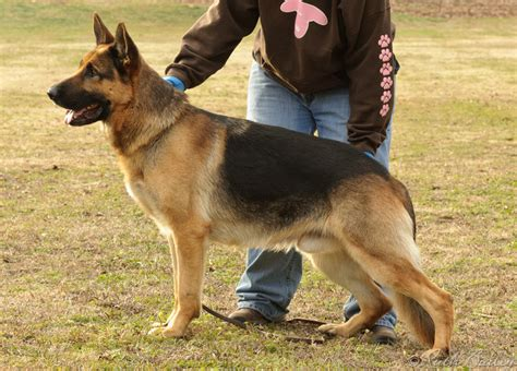 german shepherd puppies okc german shepherd breeders okc photo