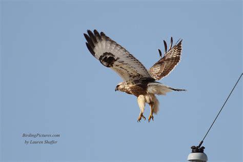 rough legged hawk rough legged hawk birding pictures