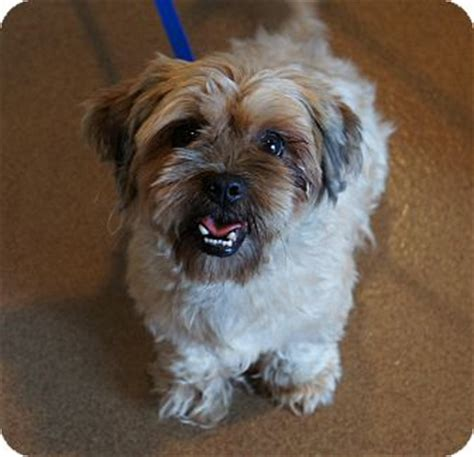 yorkie shih tzu mix for adoption yorkie terriershih tzu mix puppy for adoption in breeds picture