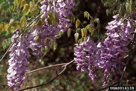 chinese wisteria wisteria sinensis chinese wisteria wisteria sinensis fabales fabaceae