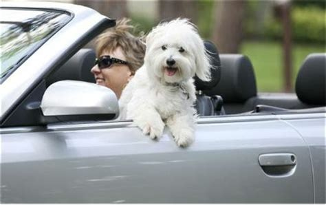 dogs in cars buckle up that do your part to prevent car accidents take paws the official
