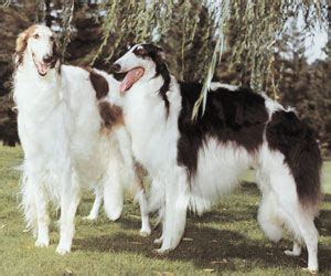 Borzoi Shedding by 1177 Best Images About Breeds On Show