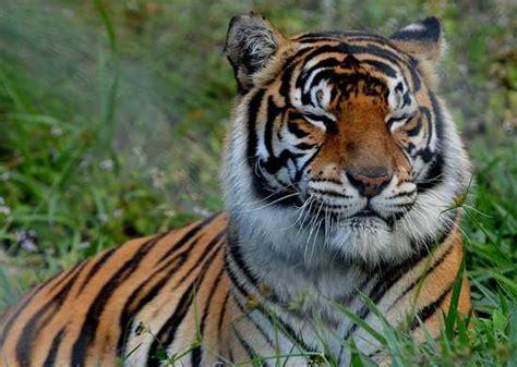 Pola Kulit Macan Harimau 30 fakta menarik tentang harimau segiempat