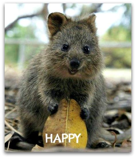 Bathroom Film Quokka The Cutest And Happiest Animal On Earth
