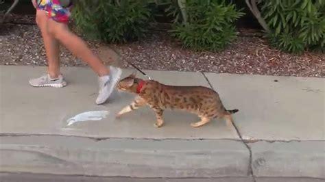 Pet Leash Intl cat leashes cat leashes pet walking