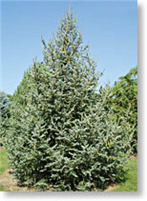 image gallery meyer spruce