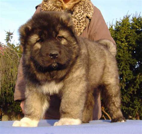 caucasian mountain puppy esquire caucasians us breed founders kavkazskaya ovcharka 440 286 2374 photo gallery