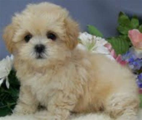 malshipoo puppies 17 best images about malshipoo on poodles teddy dogs and be ready