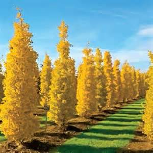 goldspire ginkgo on sale at spring hill nursery