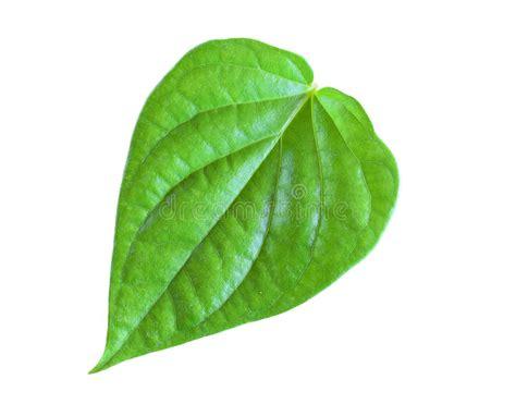 Betel Leaf Daun Sirih Essential 5ml green betel leaf isolated on white background stock photo image of leaf evergreen 64670284